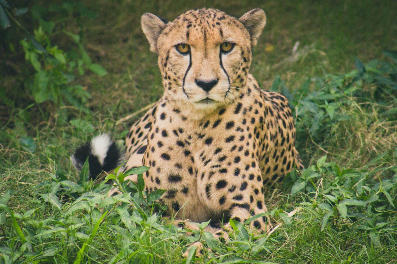 Speedy Website cheetah